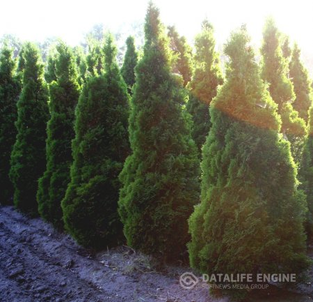 "Thuja occidentalis ""Holmstrup"""