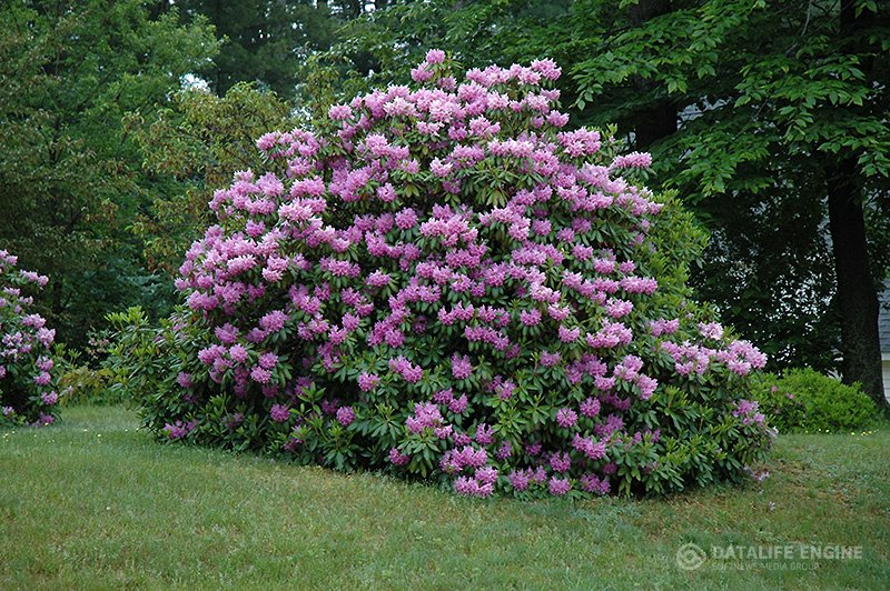 Rododendrai kaina