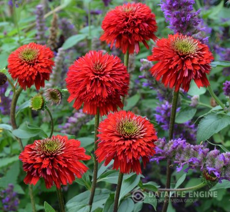 "Echinacea ""Secret Love"""