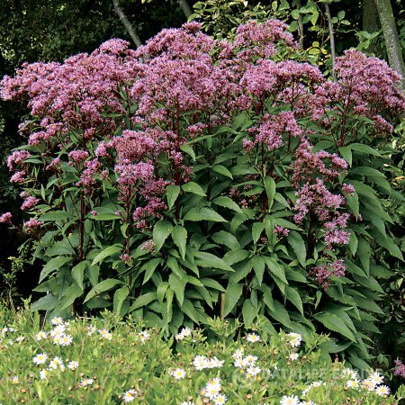 Eupatorium Baby Joe