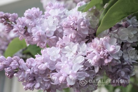"Syringa vulgaris BEAUTY OF MOSCOW ""Krasavitsa Moskvy"""