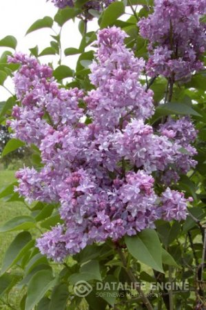 Syringa vulgaris Tribute to Vavilov, Память о Вавилове