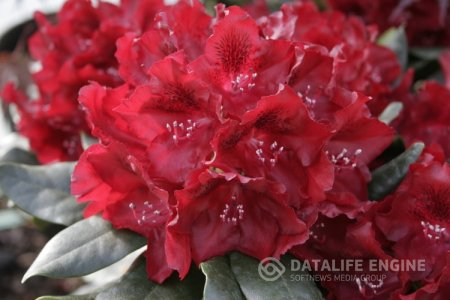 "Rhododendron ""Cherry Kiss"""