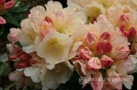 Rhododendron ''Golden Torch''