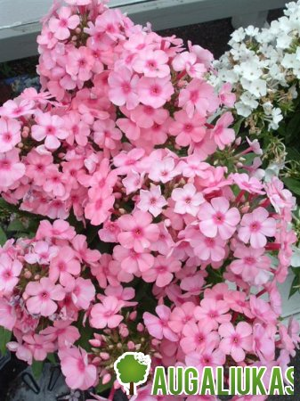 Phlox Flame Light Pink