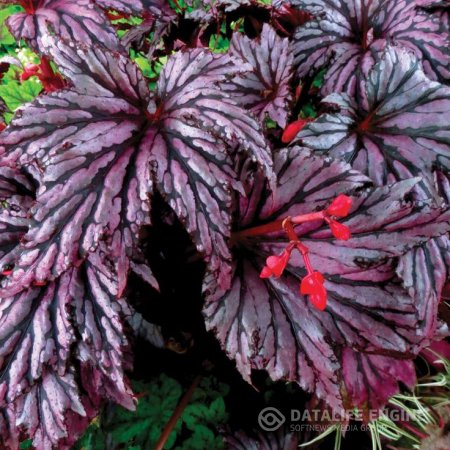 Begonia Garden Angel™ Plum
